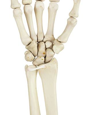 Human Wrist Bones Poster