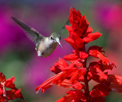 Poster featuring the photograph Hummingbird by David Lester