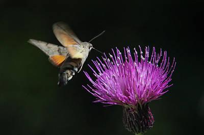 Poster featuring the photograph Hummingbird Hawk-moth - Macroglossum Stellatarum by Jivko Nakev