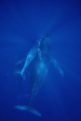 Humpback Whale Cow Calf And Male Escort Poster