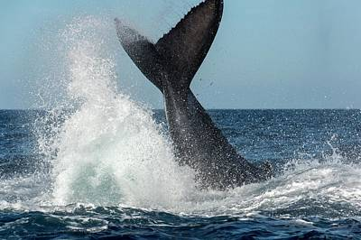 Humpback Whale Lobtailing Poster by Christopher Swann