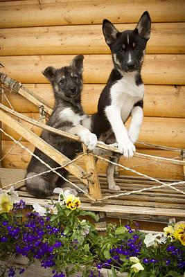 Iditarod Alaskan Husky Puppies Pose In Poster by Jeff Schultz