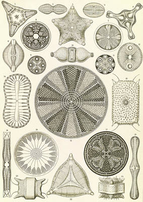 Illustration Shows Algae. Diatomea. - Schachtellinge Poster by Artokoloro