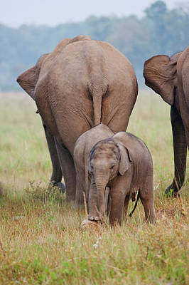 Indian Asian Elephant, Mother Poster