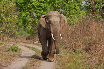 Indian Asian Elephant, Tusker Poster by Jagdeep Rajput