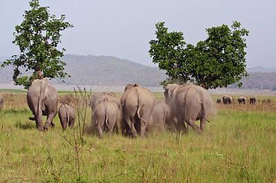 Indian Asian Elephants, Corbett Poster by Jagdeep Rajput