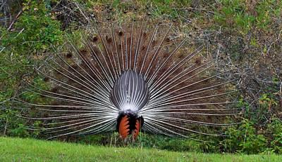 Indian Peacock Displaying Poster by K Jayaram