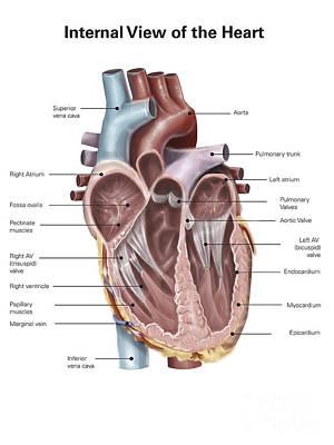 Internal View Of The Human Heart Poster by Alan Gesek