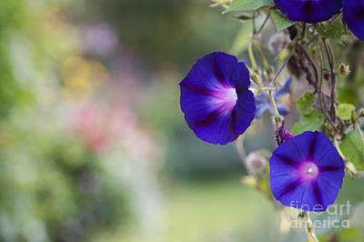 Ipomoea Morning Glory Flowers Poster by Tim Gainey