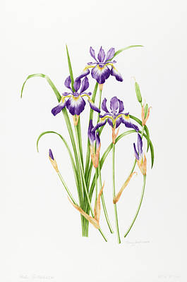 Iris Sibirica Poster by Sally Crosthwaite