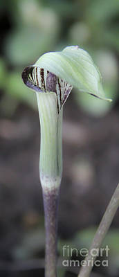 Jack In The Pulpit Poster