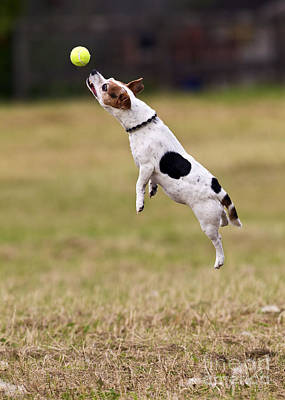 Jack Russell Jumping For Ball Poster by Brian Bevan
