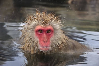 Japanese Macaque In Hot Spring Poster by Thomas Marent