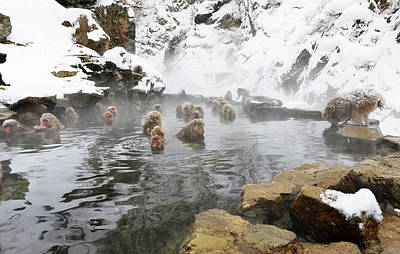 Japanese Macaques In A Hot Spring Poster by Dr P. Marazzi