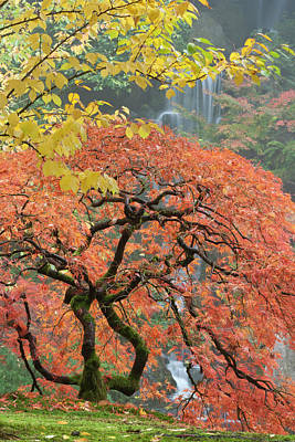 Japanese Maple (acer Palmatum Poster by William Sutton