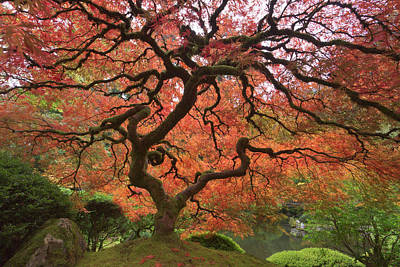Japanese Maple In Fall Color, Portland Poster by William Sutton