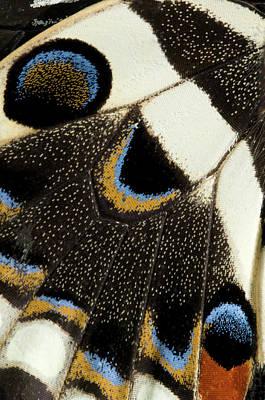 Japanese Swallowtail Wing Markings Poster