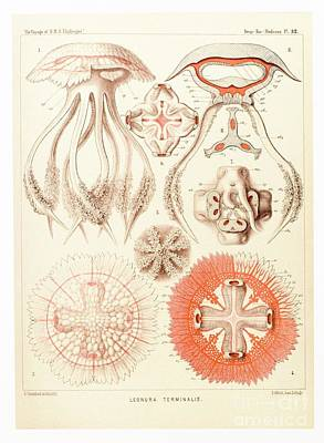 Jelly Fish, Artwork Poster by Mehau Kulyk