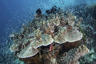 Juvenile Fish Swarm Around A Coral Poster by Ethan Daniels