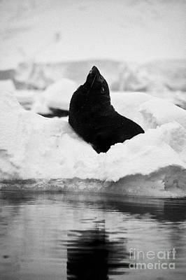 juvenile fur seal looking up stretching exaggerating size  floating on iceberg in Fournier Bay Antar Poster