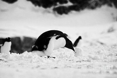 juvenile gentoo penguin rolling picking up ball of snow at Neko Harbour arctowski peninsula Antarcti Poster