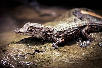 Juvenile Mugger Crocodile Poster by Paul Williams