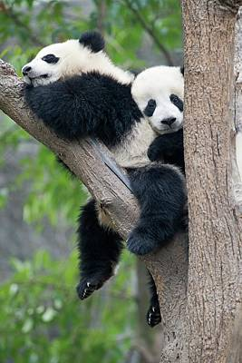 Juvenile Pandas In A Tree Poster by Tony Camacho