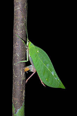 Katydid Laying Eggs Poster by Melvyn Yeo