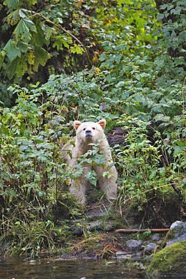 Kermode Or Spirit Bear Poster by M. Watson