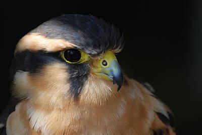 Kestrel Falcon Poster