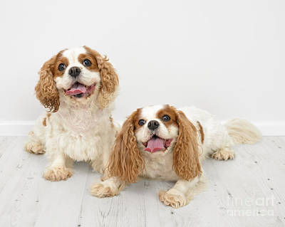 King Charles Spaniel Dogs Poster by Amanda Elwell