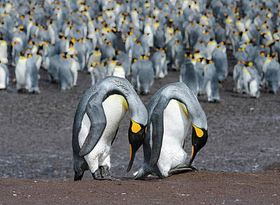 King Penguin (aptenodytes Patagonicus Poster