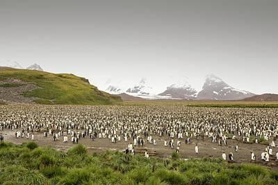 King Penguin Colony On Salisbury Plain Poster