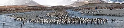 King Penguins Aptenodytes Patagonicus Poster by Panoramic Images