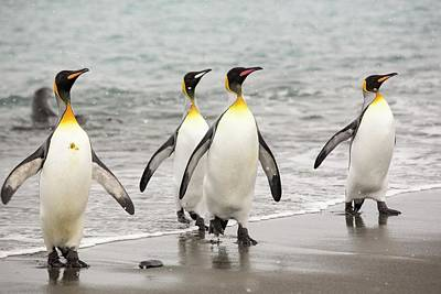 King Penguins Emerge From A Fishing Trip Poster by Ashley Cooper