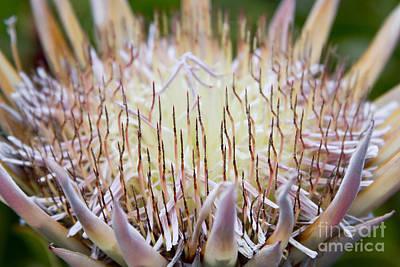 King Protea  - Protea Cynaroides - Kula Maui Hawaii Poster by Sharon Mau