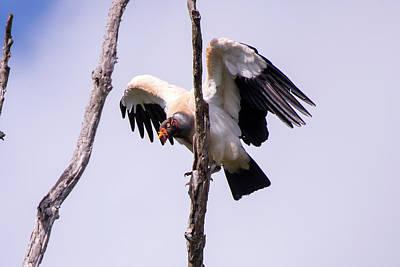 King Vulture Sarcoramphus Papa Poster