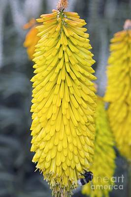 Kniphofia Spanish Gold Poster by Dr. Keith Wheeler