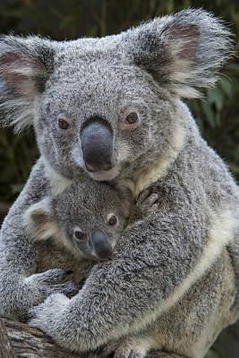 Koala Mother Holding Joey Australia Poster by Suzi Eszterhas