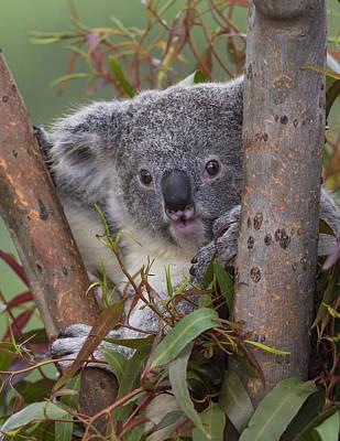Koala Poster by San Diego Zoo