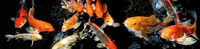 Koi Carp Swimming Underwater Poster by Panoramic Images