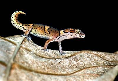 Kollegal Ground Gecko Poster by K Jayaram