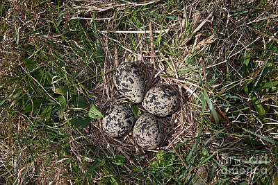 Lapwing Nest Poster by Marcus Bosch