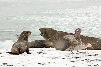 Large Bull Southern Elephant Seal Poster by Ashley Cooper