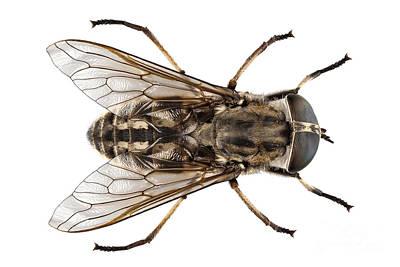 Large Marsh Horsefly Species Tabanus Autumnalis Poster by Pablo Romero