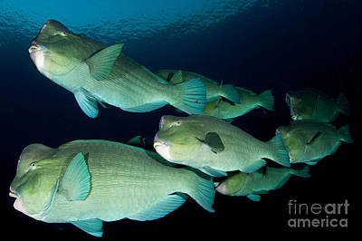 Large School Of Bumphead Parrotfish Poster