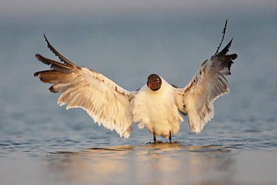 Laughing Gull (larus Atricilla Poster by Larry Ditto