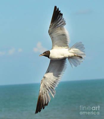 Laughing Gull Poster by Stuart Mcdaniel