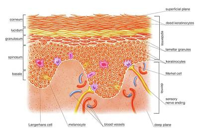 Layers And Cells Of Epidermis Poster