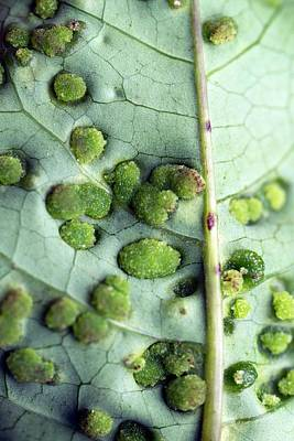 Leaf Galls Poster by Pan Xunbin